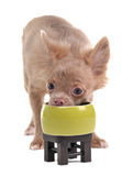 Funny chihuahua puppy eating from green bowl Royalty Free Stock Photo