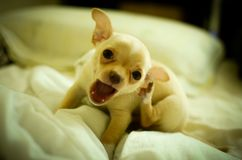 Funny chihuahua puppy at home. Cute small chihuahua puppy playing at home Royalty Free Stock Photos