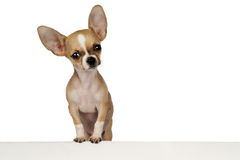 Funny Chihuahua puppy. Funny puppy Chihuahua isolated on a white background with space for text Stock Images
