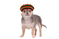 Funny chihuahua puppy in rastafarian hat Royalty Free Stock Images