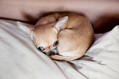 Funny chihuahua puppy on the sofa Royalty Free Stock Images