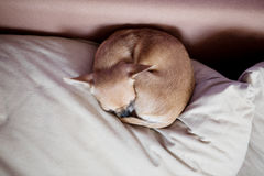 Funny chihuahua puppy on the sofa Royalty Free Stock Photos