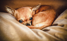 Funny chihuahua puppy on the sofa Stock Photography