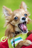 Funny Chihuahua puppy yawning. With open mouth wearing green jacket Royalty Free Stock Photo