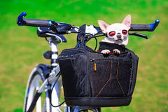Funny chihuahua in sunglasses Stock Image