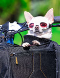 Funny chihuahua Royalty Free Stock Images