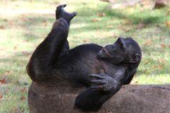 Funny Chimp Royalty Free Stock Photos