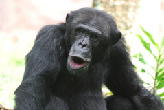 Funny Chimpanzee Making Silly Faces with His Lips Royalty Free Stock Photos