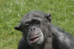 Funny chimpanzee portrait Stock Images