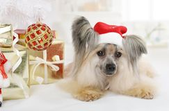 Funny Chinese Crested dog Royalty Free Stock Image
