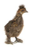 Funny Chinese Silkie Baby Chicken Isolated on White Background. A full length shot of a funny fluffy Chinese silkie baby chicken isolated on a white background Royalty Free Stock Photography