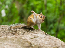 Funny chipmunk. Funny amusing chipmunk (Tamias Sibiricus) in the wildlife sitting on the stone, leaning against the stone by one foreleg and scratching itself by Royalty Free Stock Photo