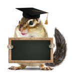 Funny chipmunk graduate hold blank blackboard, isolated on white Royalty Free Stock Images