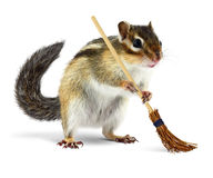 Funny chipmunk holding broom. Funny chipmunk cleaner holding broom isolated on white background Stock Photos