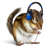Funny chipmunk listening to music on headphones stock photography