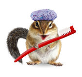 Funny chipmunk with toothbrush and shower cap, isolated on white. Funny chipmunk with toothbrush and shower cap, on white Royalty Free Stock Images