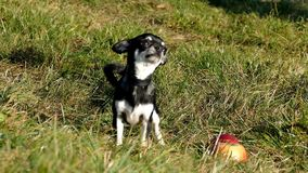 Funny chiwawa dog stock footage