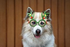 Funny christmas decoration on mixbreed dog head. With timber background royalty free stock photography