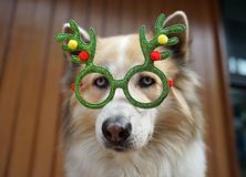 Funny christmas decoration on mixbreed dog head. With timber background stock photography