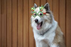 Funny christmas decoration on mixbreed dog head. With timber background royalty free stock images