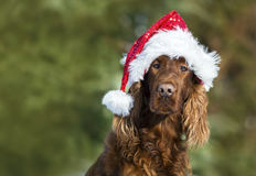 Funny Christmas dog looking Royalty Free Stock Photography
