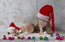 Funny christmas dogs. With deco in the studio stock photo
