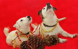2 Jack Russell Terriers Decked out for Chrtistmas. Two funny dogs decorated with christmas decorations on red background Stock Photography