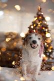 FUNNY CHRISTMAS OR NEW YEAR DOG. JACK RUSSELL PUPPY SMILING AND SHOWING ITS TEETH, WEARING A RED STRIPED TIE ON HEAD AND DEFOCUSED. FUNNY CHRISTMAS OR NEW YEAR stock photos
