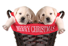 Funny Christmas puppies stock images
