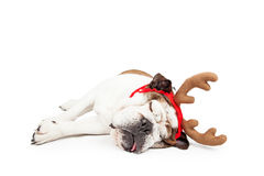 Funny Christmas Reindeer Tired Dog Royalty Free Stock Photography