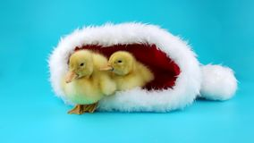 Funny Christmas two little yellow ducklings sitting in the Santa Claus hat. Ready to keying stock footage