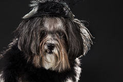 Funny close portrait of a cute dog dressed in black vintage costume Stock Photos