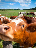 Funny close up of a cow Royalty Free Stock Photography