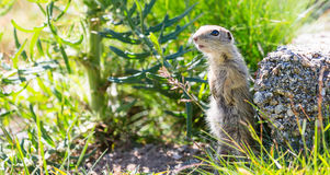 Funny close-up ground squirrel aka European souslik Royalty Free Stock Images