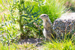 Funny close-up ground squirrel aka European souslik stock image