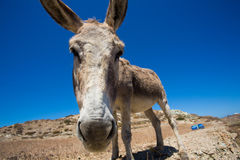 Funny close-up from a head of a mule. Stock Photography