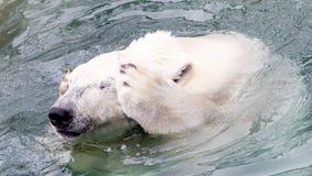 Funny close-up of a polarbear (icebear). In captivity Royalty Free Stock Image