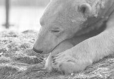 Funny close-up of a polarbear icebear. In captivity stock image