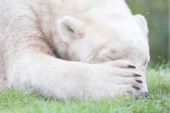 Funny close-up of a polarbear (icebear) Stock Photography