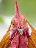 Funny close up of a red rooster Royalty Free Stock Photo