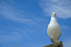 Funny close-up of seagull looking at camera Stock Photo