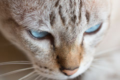 Funny close up of Thai cat Stock Images