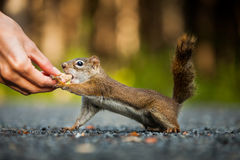 Funny Close-up of Woman Feeding a Red Squirrel on the ground. Somewhere in Quebec, Canada Royalty Free Stock Photography