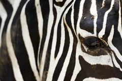 Zebra`s eye and the stripes, close-up