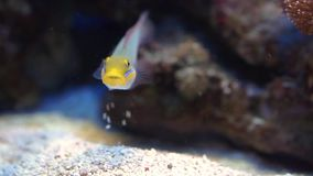 Funny closeup of a blue band goby eating rocks, tropical fish specie from the indian and pacific ocean stock video footage