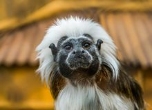 Funny closeup of the face of a cotton top tamarin, tropical critically endangered monkey from colombia. A funny closeup of the face of a cotton top tamarin royalty free stock photography