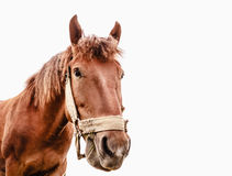 Funny closeup of a horse - wide angle. Brown horse isolated on white background photographed a wide angle lens Stock Photography