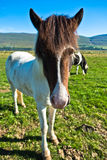 Funny closeup of islandic horse at meadow on a sunny summer day. Funny closeup of islandic horse at a meadow on a sunny summer day, north Iceland stock photography
