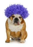 Funny clown dog. English bulldog wearing purple clown wig on white background Stock Image