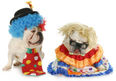 Funny clowns. Dog clowns - male and female english bulldog clowns on white background Royalty Free Stock Photography